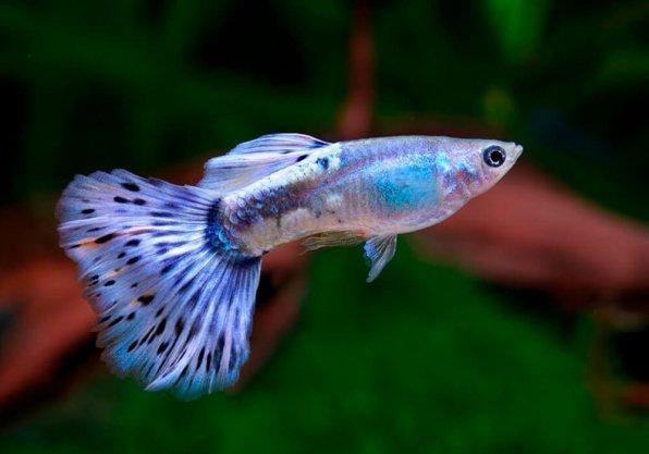 Гуппи синий бриллиант фото