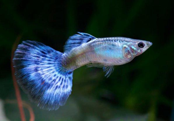 Гуппи синий принц фото