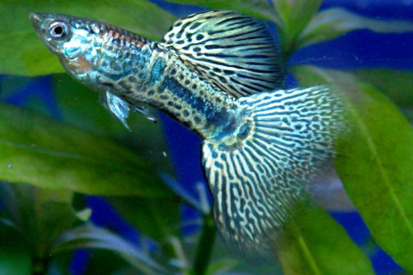 Гуппи кобра голубая фото