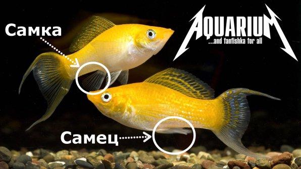 Размножение моллинезий фото самец и самка