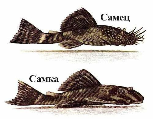 Анциструс самец и самка отличия