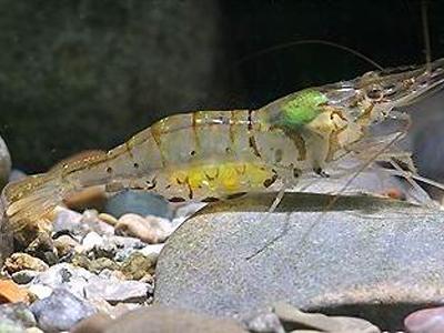Macrobrachium lamarrei