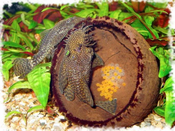 На фото анциструсы: самец и самка и их кладка в скорлупе кокоса