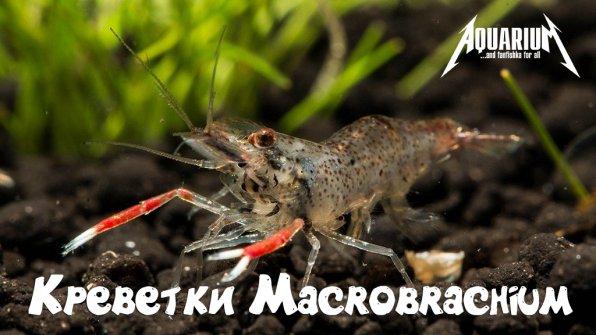 Креветки макробрахиум