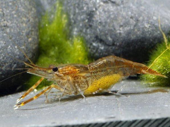 Macrobrachium pilimanus