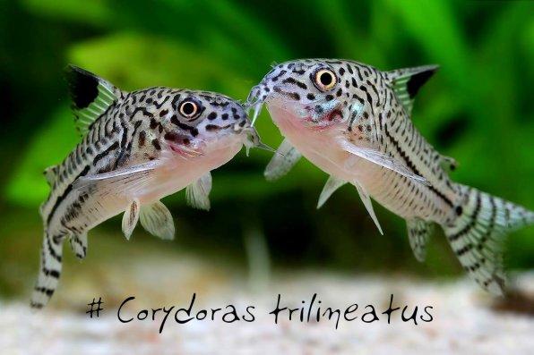Коридорас трилинеатус трехлинейный