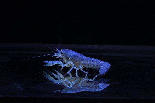 Синий флоридский рак