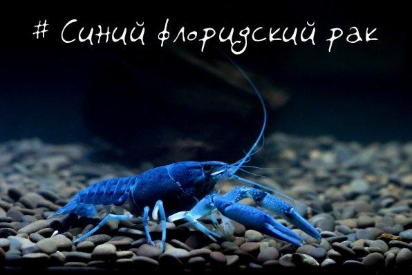 Флоридский рак синий