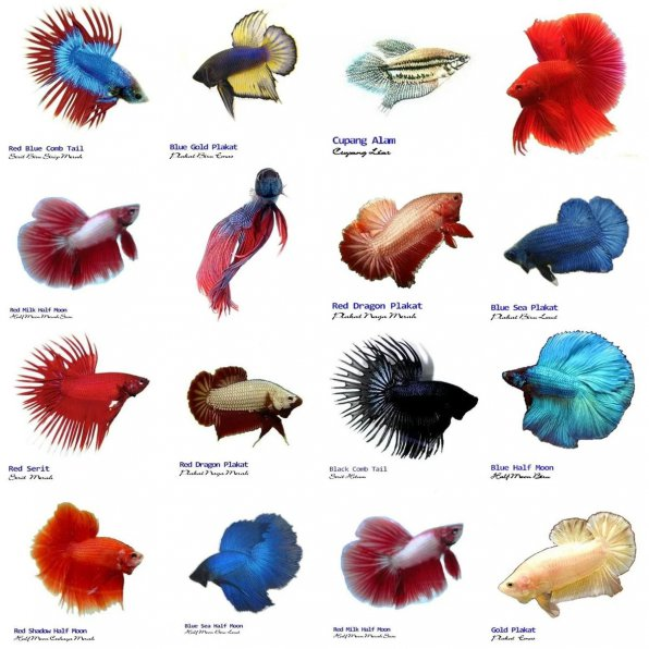 Виды рыбок петушков