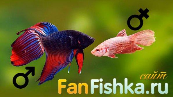 Самец и самка рыбки петушка фото