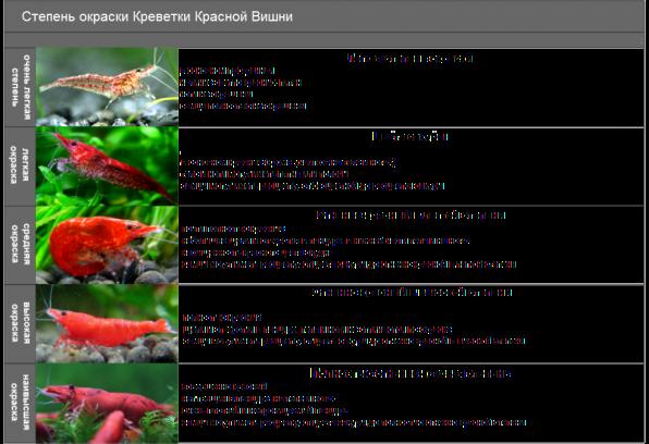 Селекционные морфы креветки вишни - черри