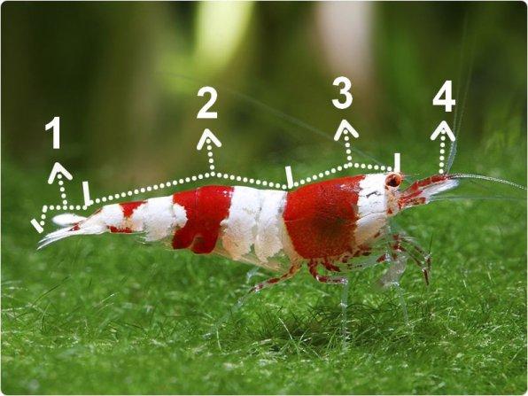 Строение тела креветки кристалл