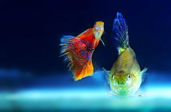 Неприхотливые рыбки гуппи
