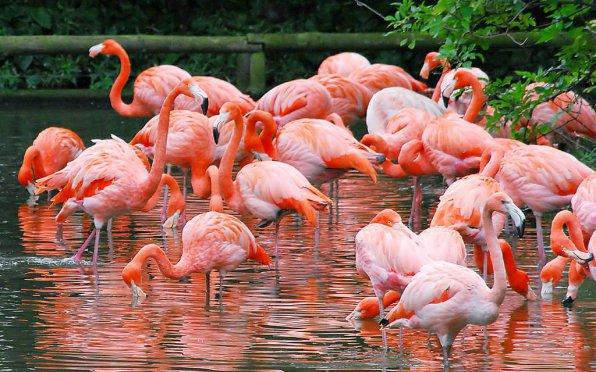 Розовые от каротиноидов фламинго