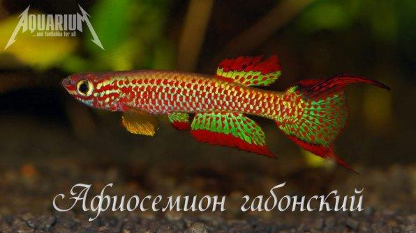 Афиосемион габонский (Aphyosemion gabunense)