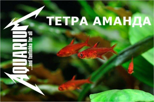 Тетра аманда фото