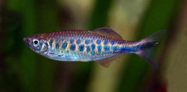 Рыбки данио виды