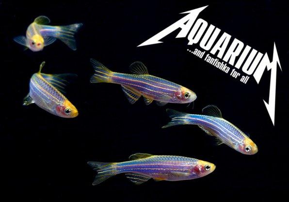 Рыбки данио популярные виды