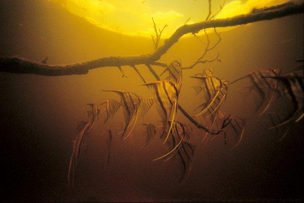 Скалярии в биотопе