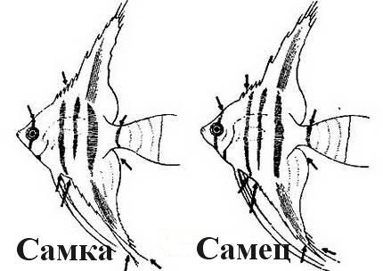 Скалярии самец и самка фото