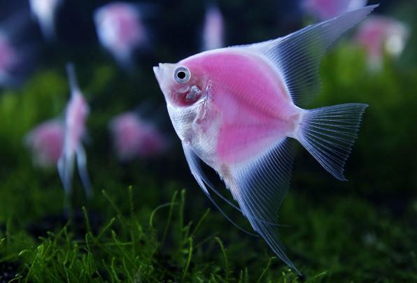 Скалярия розовая светящаяся фото