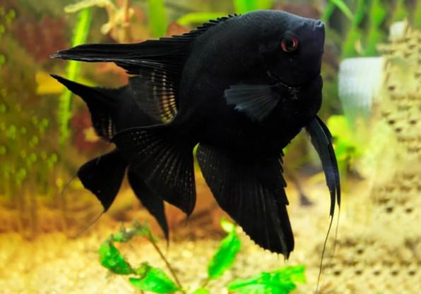 Скалярия черная фото