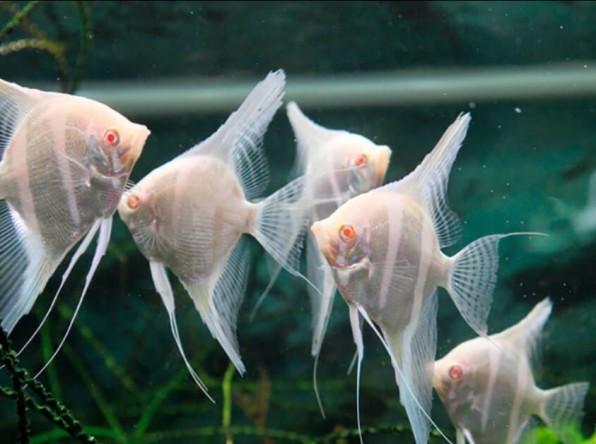 Скалярия дантум альбино фото