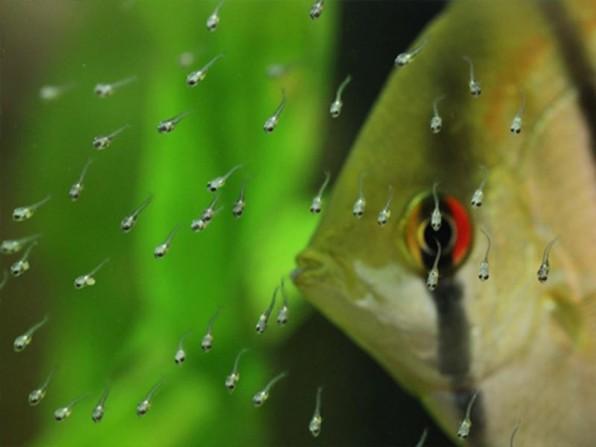Фото личинки скалярии