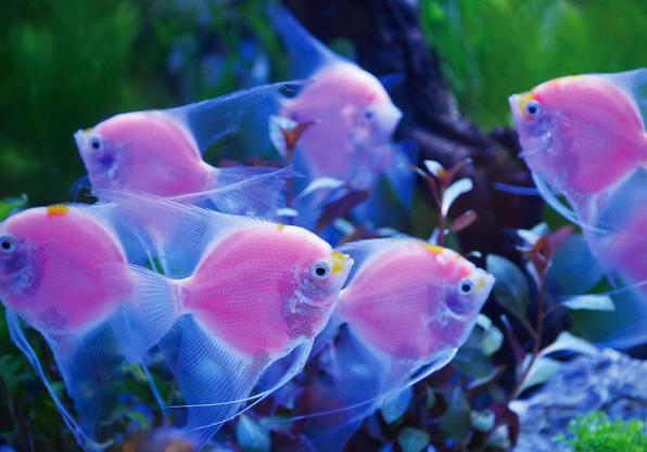 Скалярия Гло-розовая
