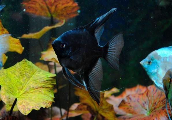 Скалярия черная бархатная фото