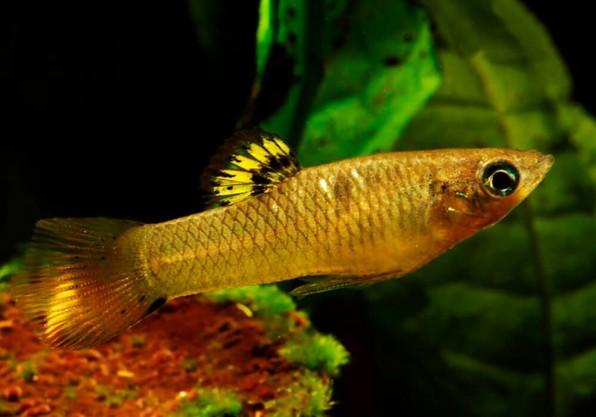 Моллинезия глазчатая (Poecilia vivipara)