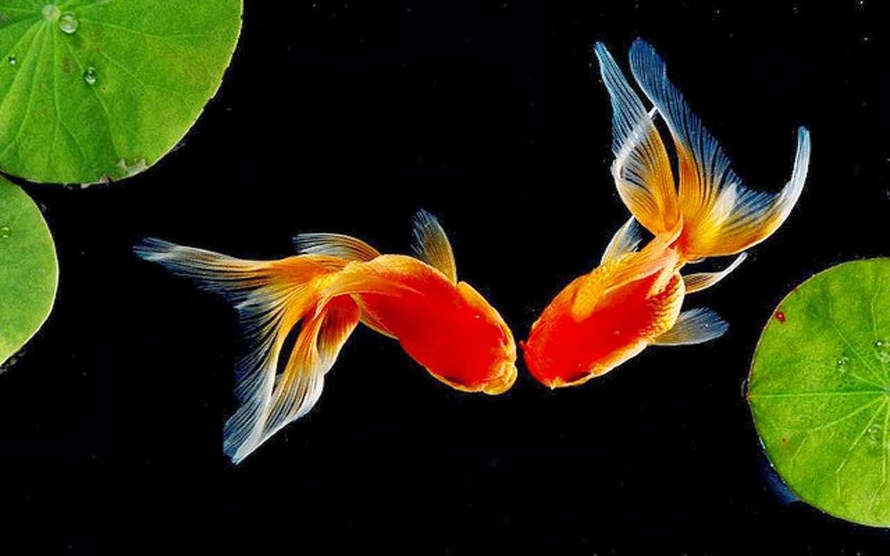 Аквариумные рыбки картинки на телефон чурсин самых
