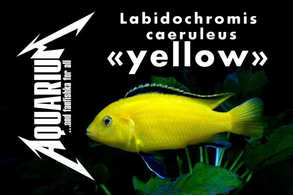 Лабидохромис еллоу