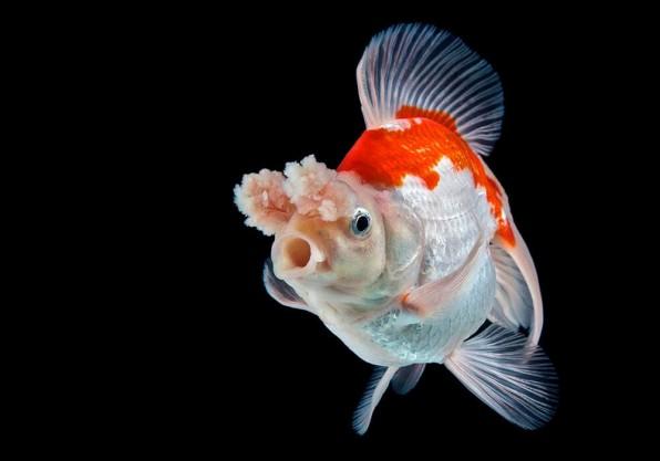 Золотая рыбка помпон