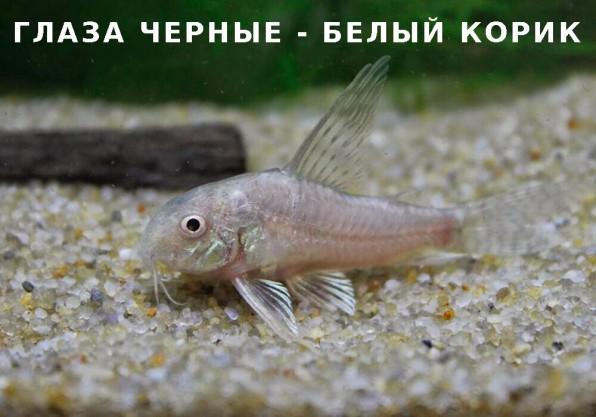 Коридорас белый