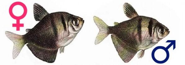 Тернеция самец и самка