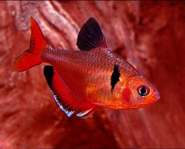 Рыбка минор серпас фото