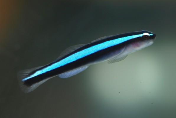На фото неоновый бычок океанопс