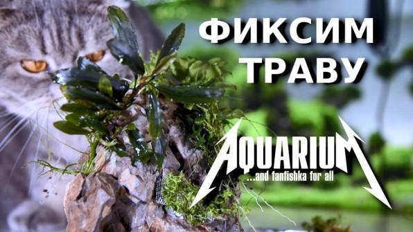Как закрепить мох, анубиас, буцефаландры?