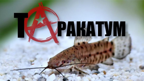Торакатум: толи рыба, толи таракан видео-обзор