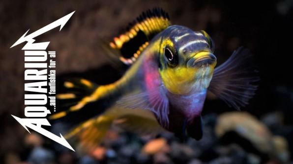 Африканские рыбки попугай96;чики видео-обзор