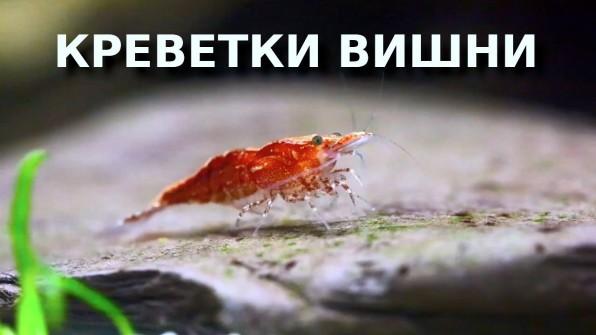 Креветки вишни видео-обзор