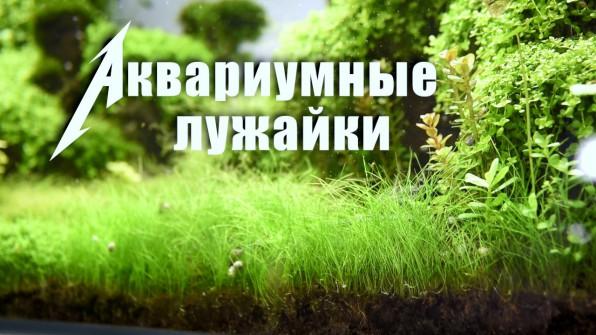 Аквариумные лужайки ТОП почвопокровных низкорослых растений