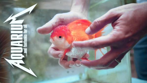Золотые рыбки ошибки содержания видео-обзор