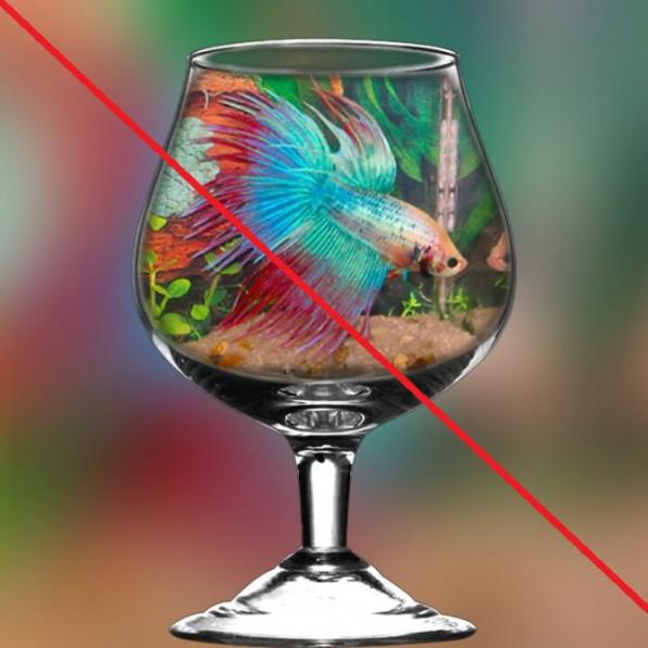 Почему умирает рыбка петушок?